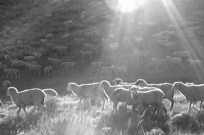 Sheep in Sun and Shadow